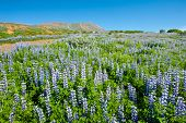 Meadows full of blooming Nootka lupin (Lupinus nootkatensis) in the mountains near Husavik, Iceland.