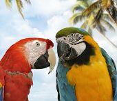Two Colorful Parrots ,Close Up