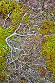 Woody surface roots growing in the very shallow topsoil of coastal Newfoundland, Canada.