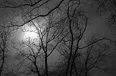 image of pecan tree  - Leafless pecan trees taken on full moon in South Georgia - JPG