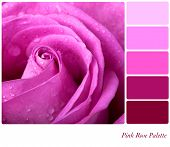 Pink rose colour palette with complimentary swatches.