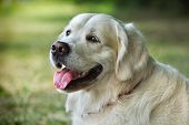 Portrait young dog  - gold retriever