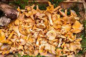 Golden Chanterelles mushroom basket dordogne perigord France