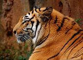 Sueño Tigre