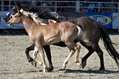 SAN JUAN CAPISTRANO, CA - AUGUST 25: unidentified  bucking horse and a foal circle the ring at the PRCA Rancho Mission Viejo rodeo in San Juan Capistrano, CA on August 25, 2012.