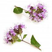 Oregano or Marjoram Herb Blooming (origanum majorana ) isolated on white