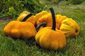 Pumpkin - Cucurbita pepo (Patissons) on green grass.