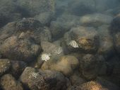 image of sedimentation  - small school of manini fish in sediment water - JPG
