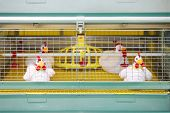Demonstration of chicken industrial incubator with soft toy chickens.