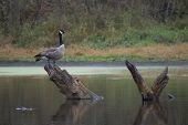 Canada Goose Perch On Stump