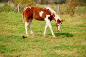 Young white and brown Mustang horse