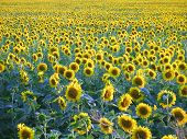 foto of vinnitsa  - Cheerful field yellow sunflower Vinnitsa region Ukraine - JPG