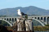 Ponte de gaivota