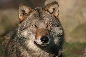 Постер, плакат: Женский серый волк