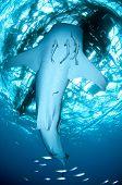 Whale Shark Underside And Remoras Under Raft