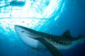 Whale Shark With Small Fish And Remoras Under Raft