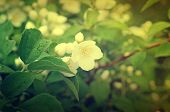 picture of jasmine  - Jasmine flower growing on the bush in  garden - JPG