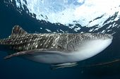 Whale Shark With 2 Remoras