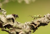 Jumping spider and Phyllobius