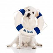 Beautiful labrador retriever sitting on floor with a sailor buoy
