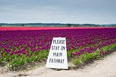 Tulips And Sign