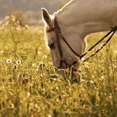 White Horse On The Meadow