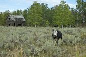 picture of sagebrush  - A cow stands on the range of the sagebrush steppe of the American Northwest High Country with an old decaying pioneers cabin in the background - JPG