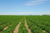 Idaho aardappel rijen
