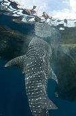 Whale Shark Vertical Near Surface With Fishermen