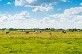 Dutch Landscape With Cows