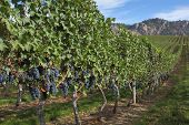 Grape Vines, Okanagan