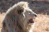White Male Lion
