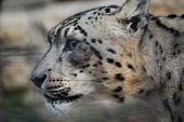 foto of ocelot  - Snow leopard photo taken in San Diego on August 1 2008 - JPG