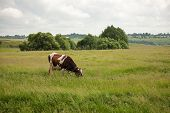 Piebald Cows Grazed On A Meadow