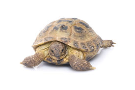 stock photo of russian tortoise  - Russian Tortoise sitting on top of a white background - JPG