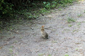 image of matinee  - a Rabbit walking alone In The Woods  - JPG