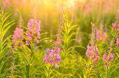 Chamerion Angustifolium Flowers