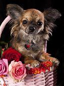 chihuahua  and flowers, miniature dog