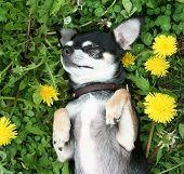 a cute chihuahua in the grass