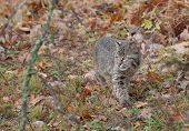Bobcat Kitten (Lynx rufus) Stalks Through The Grasses
