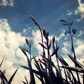 image of flax plant  - Flax plants and sky - JPG