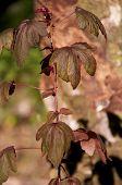 Arándano Hibiscus en sol