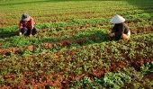 Vietnamese Farmer Working On Vegetable Farm