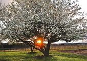 Apple Trees in full blossom with sunray