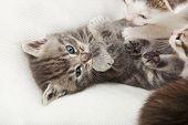 Tomcat tigre cinza