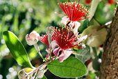 Flowering Feijoa