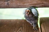 foto of marmosets  - close - JPG