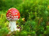 The Fly Agaric or Fly Amanita (Amanita muscaria) is now primarily famed for its hallucinogenic prope