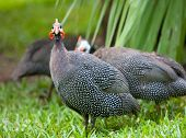 picture of guinea fowl  - Wild guinea hen on a green grass - JPG