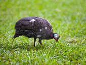 stock photo of guinea fowl  - guinea chicken on a green grass  - JPG